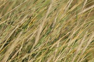 Marram Grass - Holme Dunes